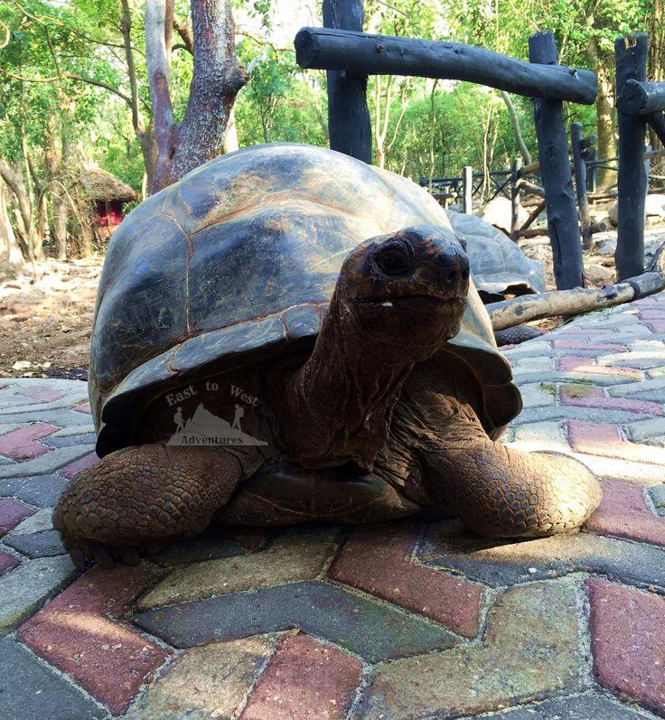 Giant tortoises of Zanzibar  #tortoises #gianttortoises #prisonisland #hardshell #zanzibar #tanzania #africa #tropicalislands #feedingtime