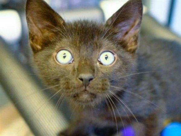 Domestic Short Hair Cat For Adoption In Denver Colorado Nicole Fury In Denver Colorado Cat Adoption Short Hair Cats Domestic Short Hair