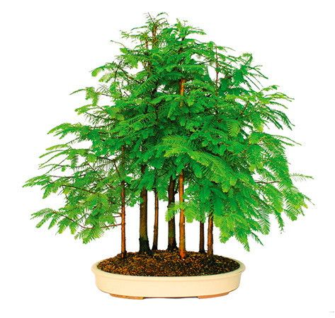 The biggest tree in the world in a tiny pot that can be admired on your own patio. What an awesome home decoration or patio decoration. The HUGE Dawn Redwood Bonsai Tree is now available to you as a grove of trees to make it look more natural. You can also use it as a garden idea. See more bonsai trees for sale at www.nurserytreewholesalers.com!