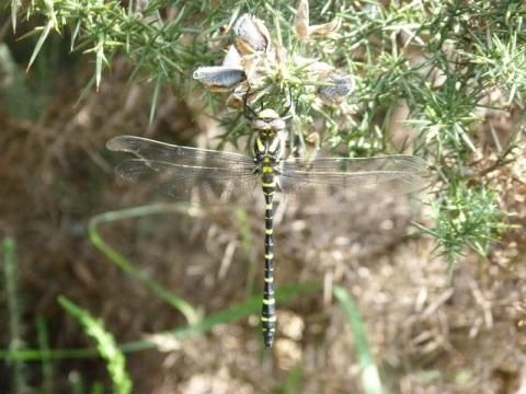 Golden-ringed Dragonfly: the band of gold   Nature Notes from Dorset