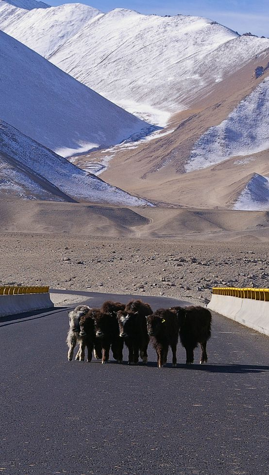 Yak calves huddle together for protect as they cross a river on a highway bridge.