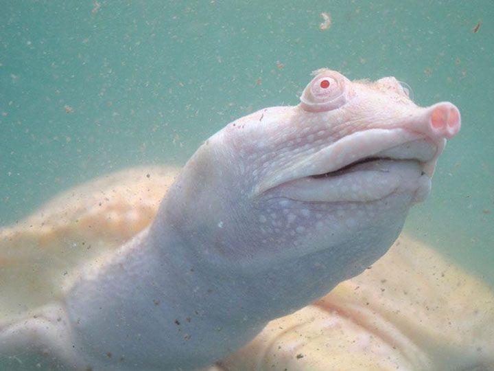 L'albinisme est une maladie génétique héréditaire bien connue chez les hommes qui se caractérise par l'absence de mélanine dans le système. Ainsi, une personne albinos n'aura aucune pigmentation dans ses cheveux, sa peau ou même ses yeux. Pou...
