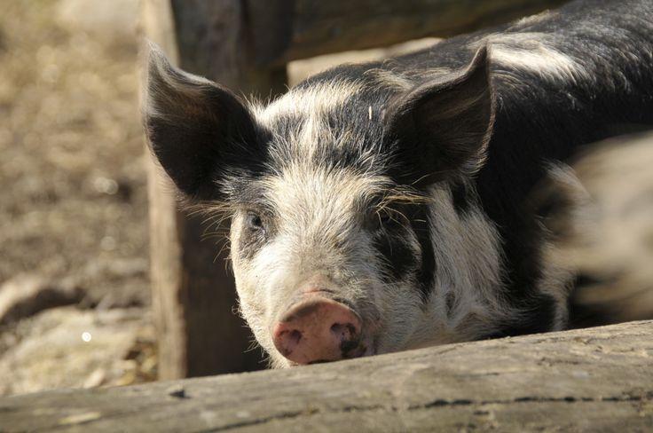 Hej på dej griskulting! Foto: Jessica Ljung/Kulturen