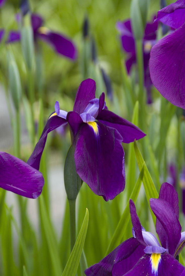 Iris - Vaste planten prikkelen de zintuigen, verbeteren het stadsklimaat, vragen weinig onderhoud en zijn zeer aantrekkelijk voor bijen en vlinders. Een afwisselende beplanting, met veel verschillende soorten, heeft bovendien een positief effect op het welzijn van mensen. Openbaar groen kan dankzij vaste planten dus kleurig, ecologisch waardevol én onderhoudsvriendelijk worden.