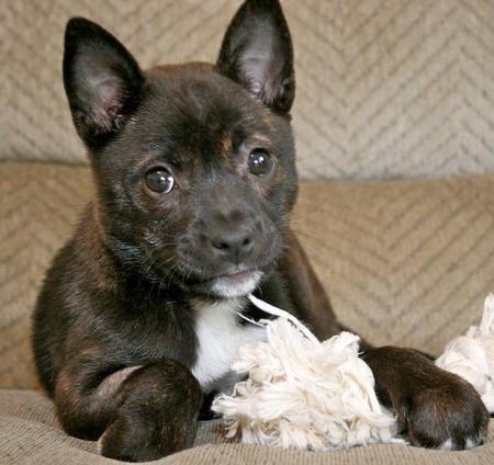 Chihuahua Pitbull Mix Breed | Carmen the Mixed Breed ...