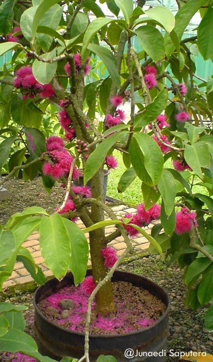 Jambu Bol/Malay Apple (Syzygium malaccense) Collection Taman Buah Mekarsari