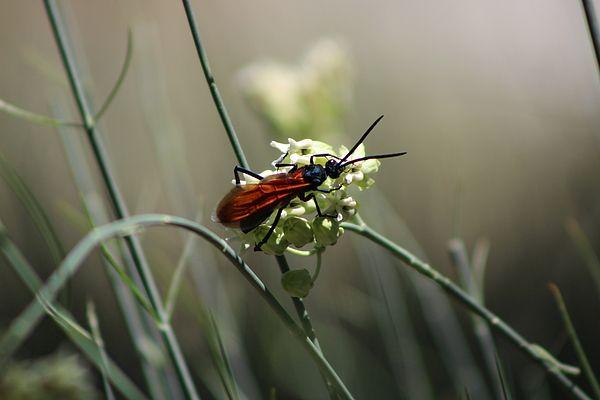 Beautiful Little NightmarePhotograph Titled Beautiful Little Nightmare is a photograph of a Tarantula Hawk resting on the Desert Milkweed blossom in Sunnylands Estates #ButterflysPin #Photography #FineArtAmerica #FineArt #photograph #buydirect
