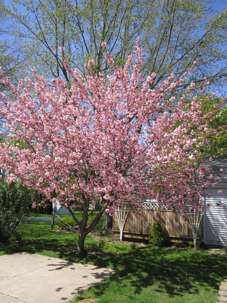 kwanzan flowering cherry tree outdoor spaces pinterest. Black Bedroom Furniture Sets. Home Design Ideas