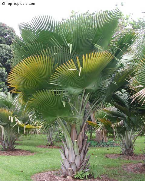Les 162 meilleures images du tableau les palmiers sur for Jardins tropicaux contemporains