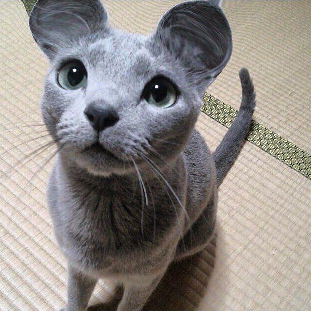 Sí? Ya es viernes noche? Y mañana Caturday? ( de @teruchan0823 ) #gatos #feelcats #guapo #azulruso #russianblue