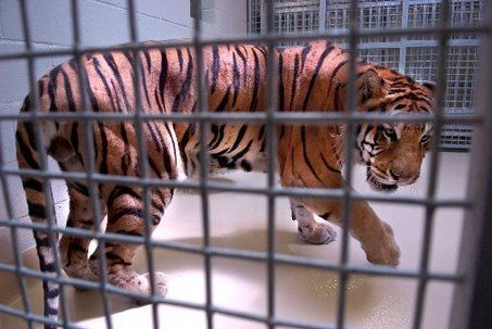 LSU Tiger Enclosure | ... Tiger, LSU's mascot, gets familiar with his new night enclosure in