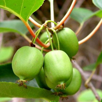 Smooth-skinned, Hardy Kiwis now Climb the Eastern Front Porch Post