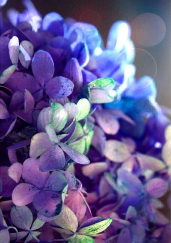blue & purple hydrangea by moonlightphotography on Etsy