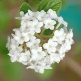"""This Viburnum Is So Fragrant They Put """"Spice"""" in Its Name: Picture of white flowers of Koreanspice viburnum."""