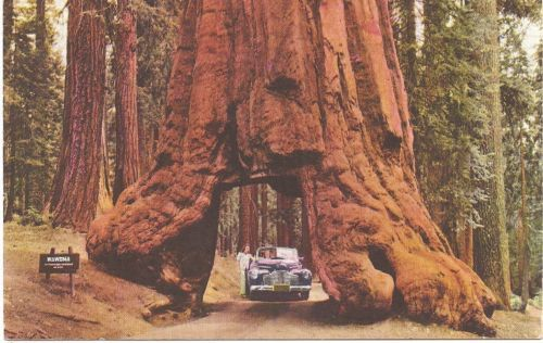 "1950 Curt Teich Color RPPC ""Wawona Tunnel Tree Yosemite National Park"""