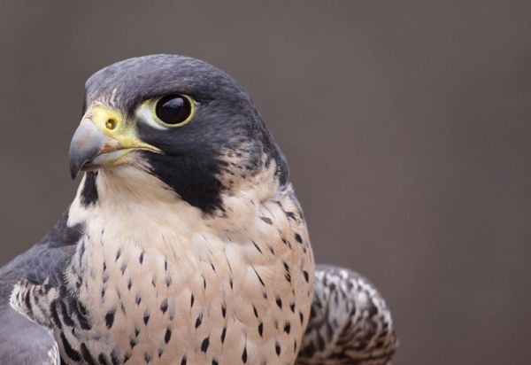 Rare Peregrine Falcon Nesting on Detroit Zoo Water Tower | Oakland County Times