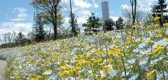 名古屋港ワイルドフラワーガーデン ブルーボネットは名古屋にあるアメリカテキサスをイメージした四季を感じることができる自然風庭園 アメリカテキサスといえばウエスタンでワイルドでハードボイルドな感じですが自然やお花のほうをテーマにしてるんですね ブルーボネットはアメリカテキサス州の州花アメリカ開拓時代の女性が被っていた帽子から名前が来てるんだそうです  名古屋市港区にあるこの自然風庭園 自然風ですからもちろん人口で作ったもの でも行ってみたらとても自然な感じで四季の花が楽しめるんですよ  これからの季節はチューリップやネモフィラそしてブルーボネットが咲きますよ 春の間にぜひ行っておきたい施設です tags[愛知県]