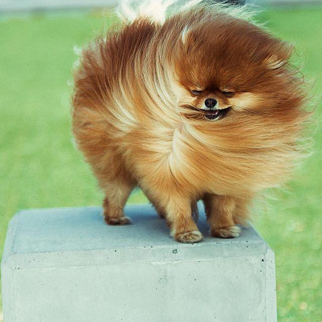 Big hair don't care because it's Friday! @cece.pomeranian #Pomeranian