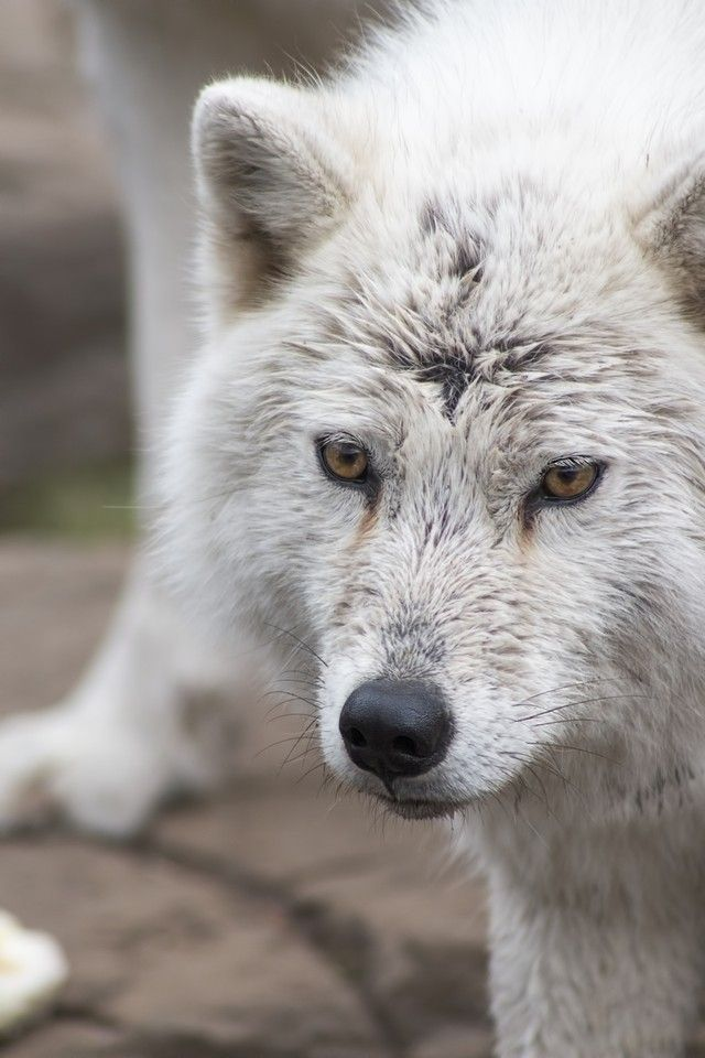 """wolfsheart-blog: """" Wolf Pup face with yellow eyes By jasmin.mori.10 """""""