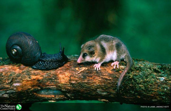 "Snail + monito del monte (Spanish for ""little monkey of the mountain""), Dromiciops gliroides,"