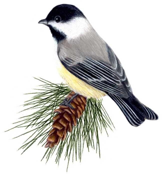 Maine State Bird And Flower   State birds, Birds, Flowers
