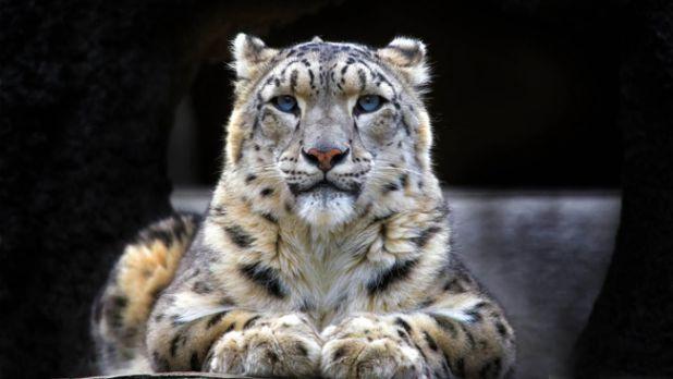 10. Léopard des neiges La nature est faite de milliers d'espèces extraordinaires. Malheureusement, certaines d'entres elles sont sur le point de disparaitre : 1. Grand Ara vert 2. Okapi 3. Tetras du Gunnison 4. Hippopotame Pygmée 5. Gorfou sauteur 6. Pangolin chi...