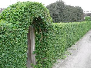 privacy fences hedge