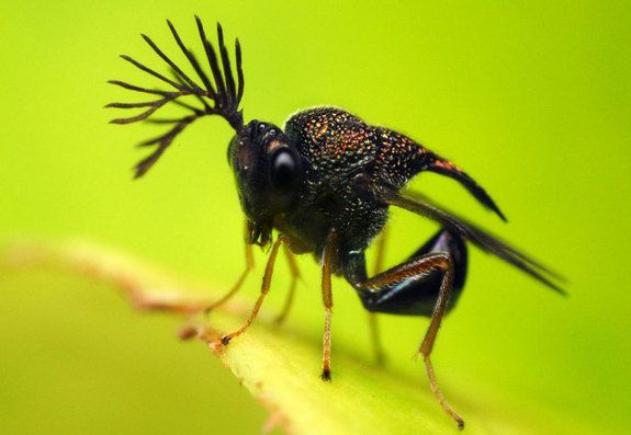 Antlered WaspCredit: June Aubrey R. Young: Another insect that sports reindeer-like antlers,