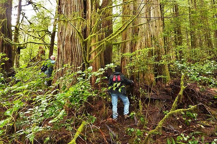 The Ancient Forest Alliance on Vancouver Island is building a boardwalk at the Avatar Grove near Port Renfrew in British Columbia. Significant progress was made in the Lower Avatar Grove in Septemb…