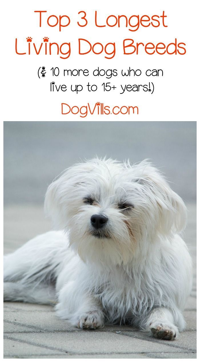 lifespan of a maltese 895 best maltese sweeties images on pinterest maltese 5091