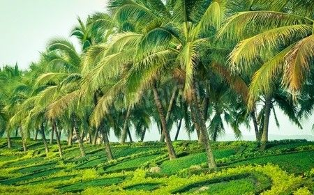 30 Best Grow Assess Coconuts Images On Pinterest Coconuts Palm Trees And Palms
