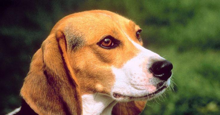 Como diminuir o odor de beagles. Um cachorro fedorento pode rapidamente se tornar uma parte indesejada no seu lar. Se o seu beagle está ficando com um cheiro excessivamente ruim, há muitas maneiras para se livrar do problema. Se o cão simplesmente tem um odor ruim ou se ele fica regularmente sujo e fedorento por brincar ao ar livre, mantenha o controle da situação. Cada cão pode ...