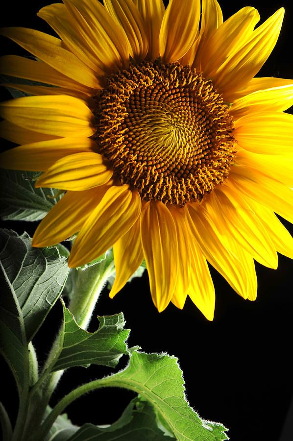 Sunflower Photograph by Dung Ma - Sunflower Fine Art Prints and Posters for Sale