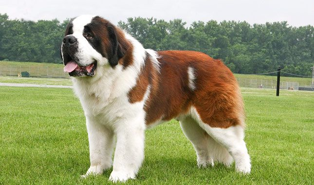 saint bernard full grown compared to human - Google Search ...