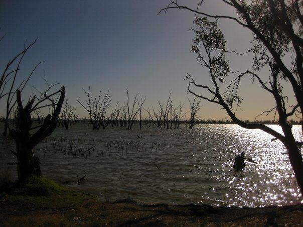 Red River Gum Trees in the Lake Mulwala of Murray Valley