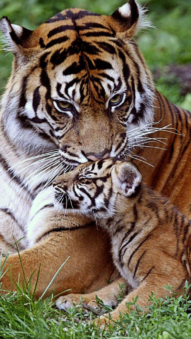 tiger, cub, down, family, care, baby, big cat, predator