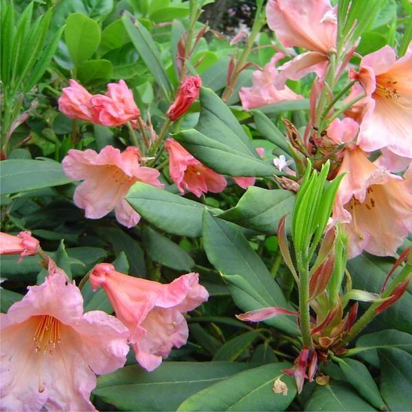 Rhododendron 'Autumn Gold' Australia