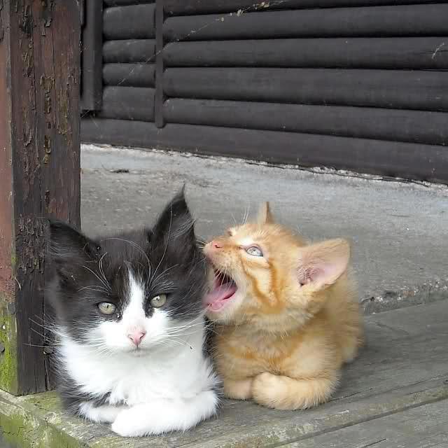 """* * """" Me sense danger aboves us in de form of a fat angry bird !"""" [OTHER KITTEN: """" Okeys, Orange. Whys yoo yellin' in me ear?!"""""""