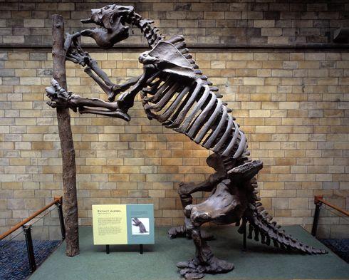pictures harlans ground sloth megatherium americanum skeleton extinct giant ground sloth the size of an elephant