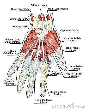 de hand anatomie - Google zoeken