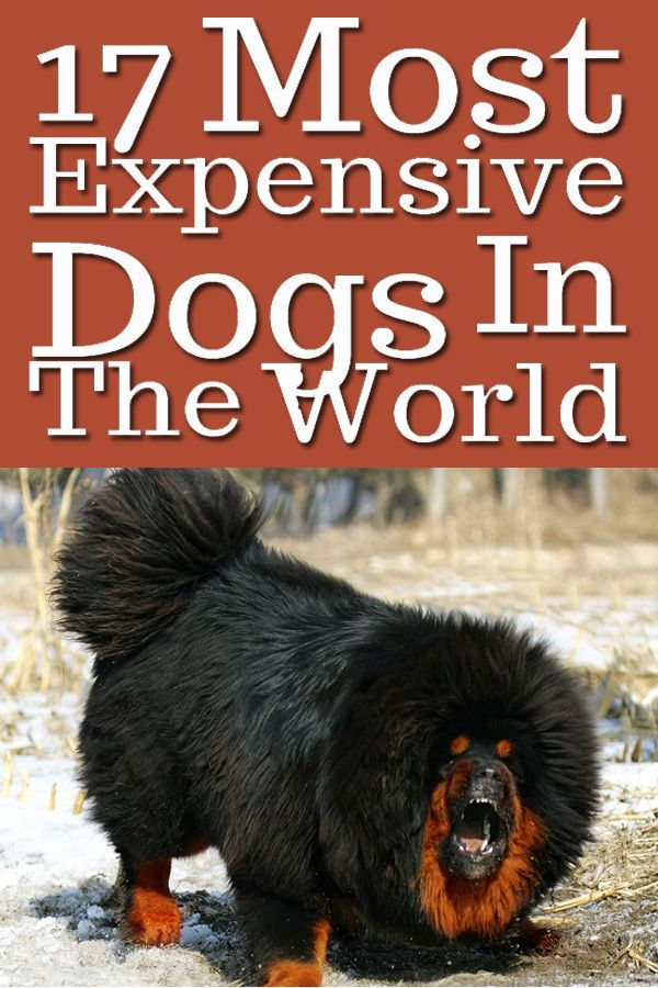 Whether their breeds are prized or they are exceptionally rare, the reasons are multiple. Keep on reading and discover the 17 most expensive dogs on the planet.  Read More ==> https://www.dailyoffersandsteals.com/blogs/daily-offers-and-steals-blog/17-most-expensive-dogs-in-the-world