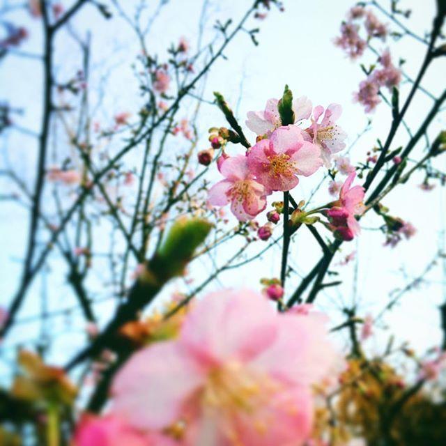 【youmei0718】さんのInstagramをピンしています。 《昨日食べすぎて今朝の体重増加がやばかったので少し陽が傾き始めてから隣駅までお散歩。 この間も投稿した早咲きの桜(と思われる花)がもう5分咲きくらいに!あ〜もう春だなあ〜☺️🌸 自分が春生まれだからか、春が四季の中でいちばん好きです。妙にウキウキして、夜の帰り道、周りに人がいないとスキップとかし始めます笑 誰かに見られた時めちゃくちゃ恥ずかしいですけど🤣笑 日本でのお花見、今年は旦那さんとは難しいだろうけどこれから機会はたくさんあるし、先の楽しみにとっておこう✨ #日中夫婦 #国際結婚 #国際夫婦 #日本 #桜 #春 #お散歩 #spring #春生まれ #プレママ #初マタ #妊娠後期  #9ヶ月 #お天気 #お花》