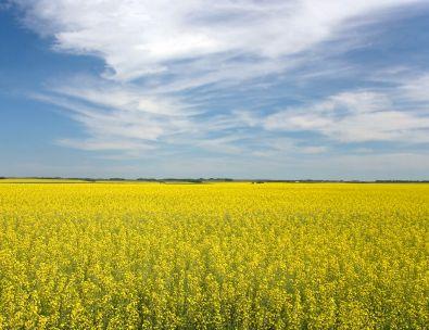 Canola Fields - Saskatchewan
