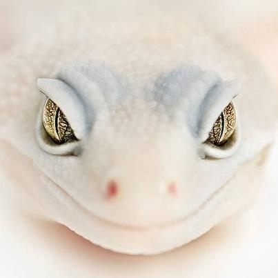 Super Snow Blizzard Leopard Gecko, you may get a tint of grey colouring but it makes them much more snow like. These guys are some of my favourites.