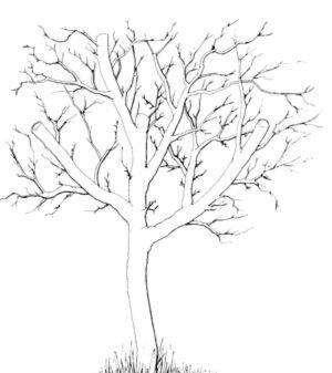 Beskjæring av eldre frukttrær