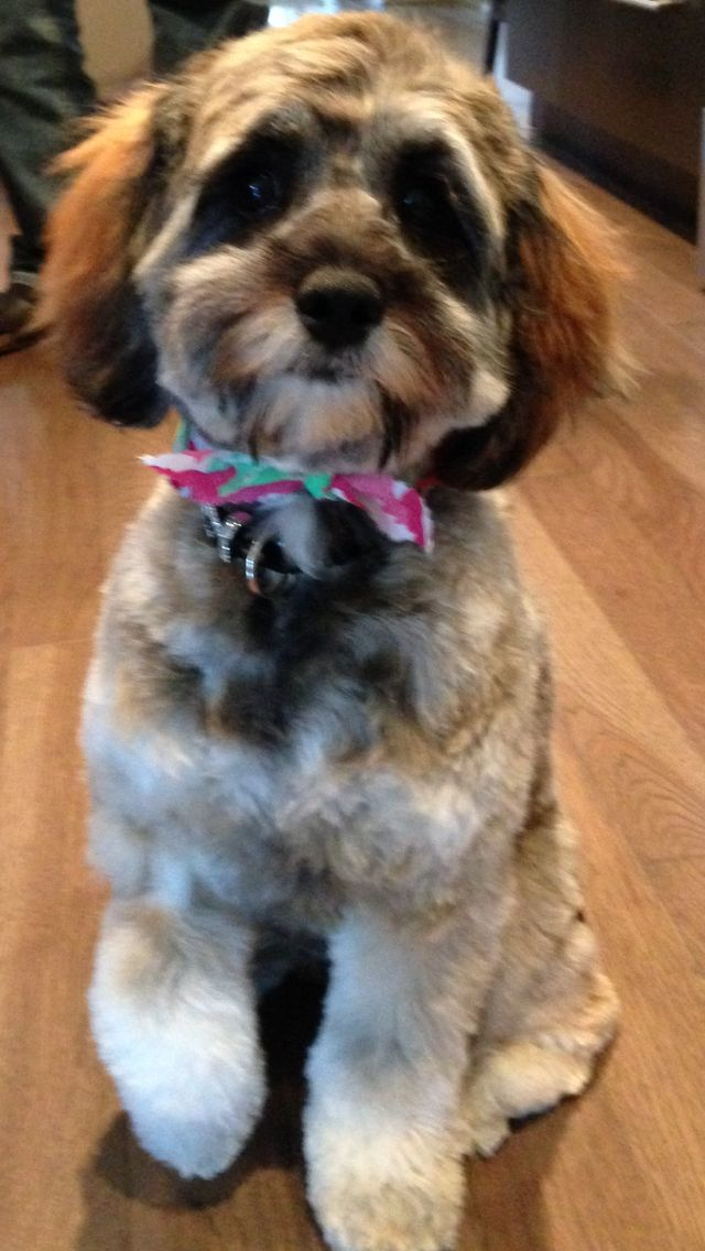 Back from the spa, and all my puppy hair is gone now; I'm getting lighter with every hair cut :) #puppyspa #cockapoo