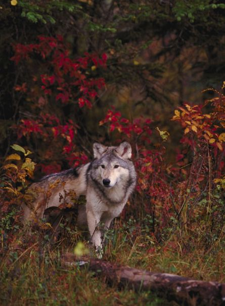 Wolf - such a beautiful animal