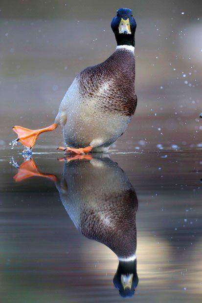 Кряква теряет равновесие на льду и отправляется скользящий по поверхности…