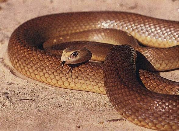 Inland taipan. Inland taipan. (Oxyuranus microlepidotus). Also known as: Fierce snake or small-scaled snake. Found: in cracks and crevices in dry rocky plains where the Queensland, South Australia, New South Wales and Northern Territory borders converge.