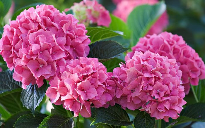 Hydrangea plants are great for clay soil in shade